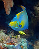 Queen Angelfish 4