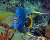 Blue (Bermuda) Angelfish 1