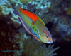 Yellowhead Wrasse 2